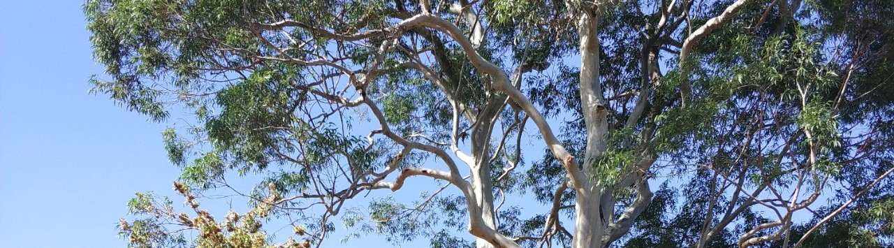 foliage of a blue gum